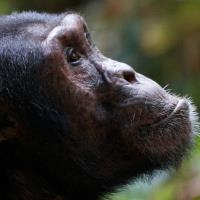 VX POLL of the DAY (153): SAVING THE LIBERIAN CHIMPS
